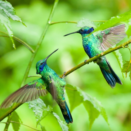 Ecuador-Mindo-Green-Hummingbrids-Flying